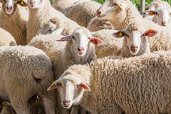 Herd of white sheep Royalty Free Stock Photography