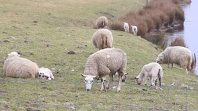 Herd of white sheep on dike in springtime stock footage