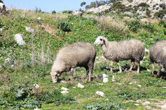 Herd of white sheep Stock Photography