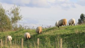 Herd of white sheep grazing on dike stock video footage