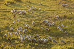 A herd of white sheep Royalty Free Stock Photos