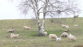 Herd of white sheep in springtime under tree on dike stock video