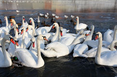 Herd of white swans swimming on the river in winter Stock Photography