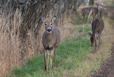 Herd of White Tail Deer Royalty Free Stock Image