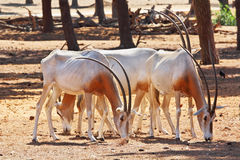 A herd of white wild goats Royalty Free Stock Images