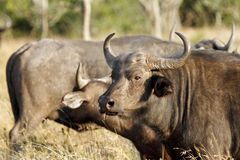 A  herd of Wild African Buffalo Royalty Free Stock Images