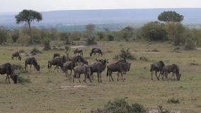 A herd of wild antelopes is grazing in the savannah of an African reserve. A herd of wildebeest eats grass on the fields in an African preserve against the stock video