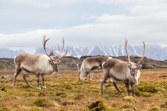 Herd of wild Arctic reindeer in natural environment Stock Photography
