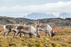 Herd of wild Arctic reindeer in natural environment Stock Images