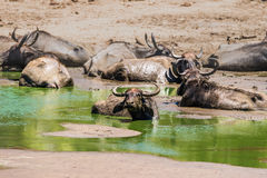 A herd of wild asian buffalo in water stock photos