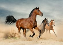 Herd of wild beautiful horses royalty free stock photography