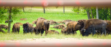 A herd of wild bison grazing in the field Stock Photos