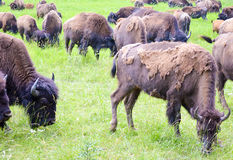 A herd of wild bison grazing in the field Royalty Free Stock Photo