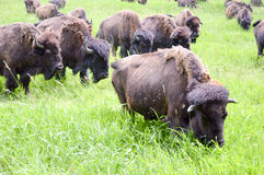 A herd of wild bison grazing in the field Stock Photo