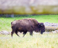 A herd of wild bison grazing in the field Royalty Free Stock Photography