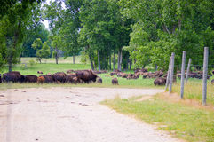 A herd of wild bison grazing in the field Stock Photography