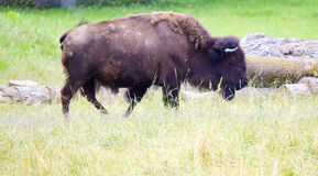 A herd of wild bison grazing in the field. Wild bison grazing in the field Stock Photo