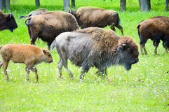 A herd of wild bison grazing in the field. Wild bison grazing in the field Stock Image