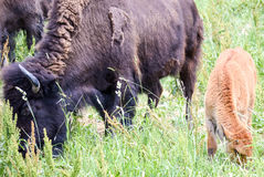 A herd of wild bison grazing in the field. Wild bison grazing in the field Royalty Free Stock Image