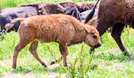 A herd of wild bison grazing in the field Royalty Free Stock Image
