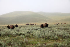 Herd of wild bisons Stock Images