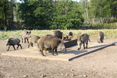 A herd of wild boars,   boars in the forest, Royalty Free Stock Photography