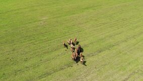 Herd of wild brown horses in a green meadow with fresh grass. Flying around a group of animals