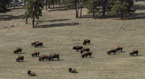 Herd of wild Buffalo grazing in a field in spring time royalty free stock photos