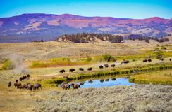 Yellowstone National Park Bison March. Herd of wild buffalo march in line around a blue river to the next valley during fall rut.  Bison is rolling in a dust bed royalty free stock photos