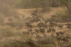 Herd of wild buffalost, african savannah, Kruger, South Africa Royalty Free Stock Photos