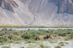 Herd of wild camels Royalty Free Stock Photos