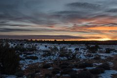 A herd of wild cattle walking along the sunset. A Sunset along the road in a cloudy American desert. Canyonlands National Park. A place where cattle are free to Stock Photography