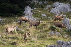 Herd of wild chamois in a field, Jura, France Royalty Free Stock Images