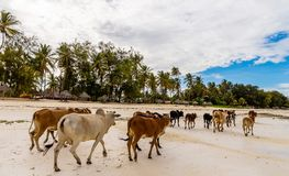 A herd of wild cows, run off of the coast royalty free stock photo