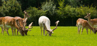 Herd of wild deer grazing English countryside New Forest Hampshire southern uk Stock Photography