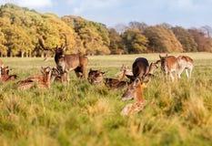 A herd of wild deer in Phoenix Park, Dublin, Ireland. Wild Irish fauna, a herd of wild deer which roam and graze in Phoenix Park, Dublin, Ireland stock image