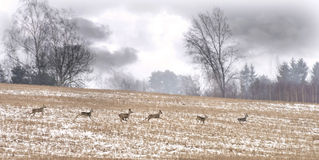 Herd of wild deers , Lithuania Royalty Free Stock Photo