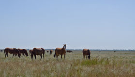Herd of horses on grassland Stock Photography