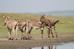 Herd of wild donkeys playing in the  meadow Stock Photography