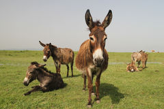 Herd of wild donkeys resting in the  meadow Royalty Free Stock Images