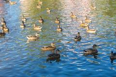 Herd of wild ducks swimming. In small pond illuminated by sunset light Stock Photo