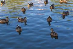 Herd of wild ducks swimming. In small pond illuminated by sunset light Royalty Free Stock Photo