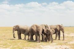 Herd of wild elephants in Amboseli National Park, Kemya. Royalty Free Stock Image