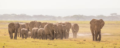 Herd of wild elephants in Amboseli National Park, Kemya. Royalty Free Stock Photo