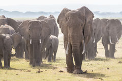 Herd of wild elephants in Amboseli National Park, Kenya. Royalty Free Stock Image