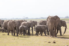 Herd of wild elephants in Amboseli National Park, Kenya. royalty free stock photography