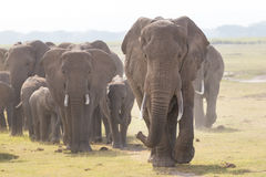 Herd of wild elephants in Amboseli National Park, Kenya. Stock Photography