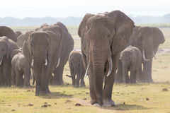 Herd of wild elephants in Amboseli National Park, Kenya. Stock Photos