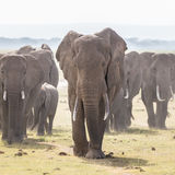 Herd of wild elephants in Amboseli National Park, Kenya. Royalty Free Stock Image