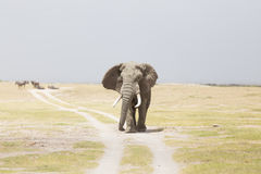 Herd of wild elephants in Amboseli National Park, Kenya. Stock Images